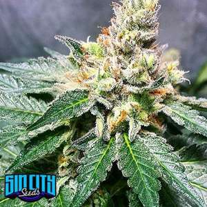 SinCity SeedsLilac Jack Regular Seeds - 15