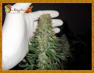 Dr Krippling Seeds Mango Chutney Feminised cannabis seeds
