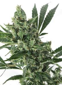 Grass-O-Matic SeedsMED GOM 1.0 Auto Feminised Seeds