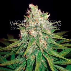 World of Seeds Mazar x Great White Shark Feminised cannabis seeds