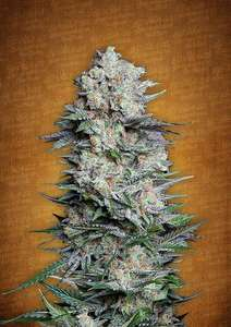 FastBuds Seeds Mexican Airlines Auto Feminised cannabis seeds