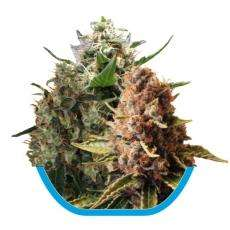 Royal Queen Seeds Mix CBD Feminised cannabis seeds