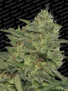 Paradise SeedsOriginal Cheese (IBL) Feminised Seeds
