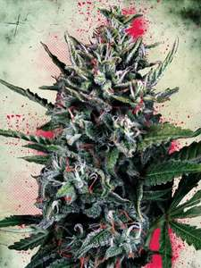 Ministry of CannabisSilver Bullet Auto Feminised Seeds