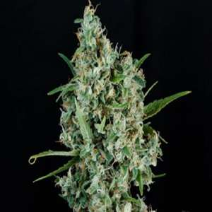 Homegrown Natural WondersSonic Screwdriver Regular Seeds