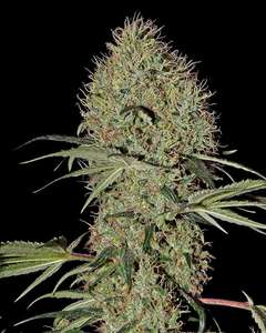 Greenhouse Seed Co.Super Bud Auto Feminised Seeds