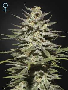 Greenhouse Seed Co.Super Lemon Haze CBD Feminised Seeds