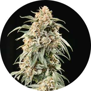 Top Tao SeedsTao Mix 2 AUTO Regular Seeds - 15