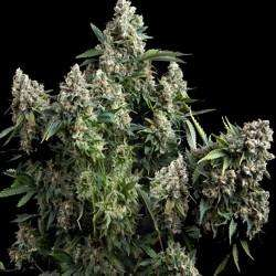 Pyramid SeedsTutankhamon Feminised Seeds
