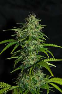 SeedsmanUK Cheese Auto Feminised Seeds