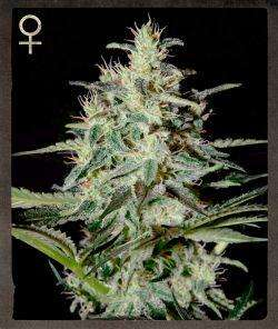 Strain Hunters MerchandiseWhite Lemon Feminised Seeds