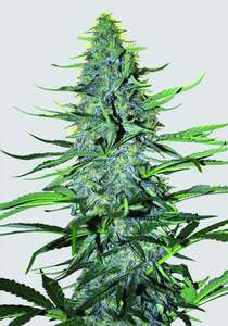 Nirvana SeedsWhite Widow Regular Seeds - 10