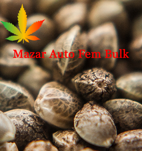 Mazar Feminised Cannabis Seeds