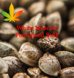 White Moscow Feminised Cannabis Seeds