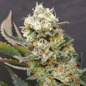 Zkittlez Glue Feminised Seeds
