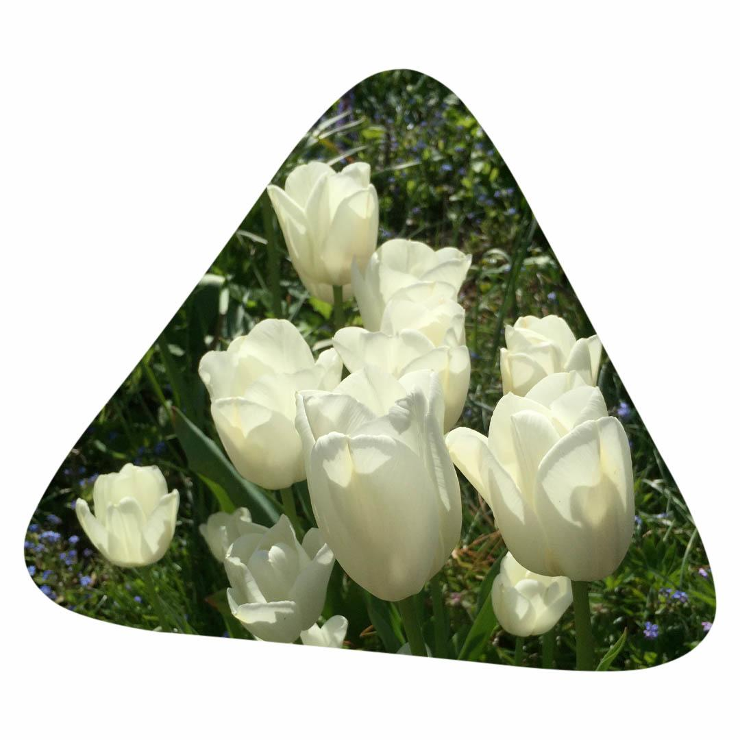 Sunlight shining through white tulips.