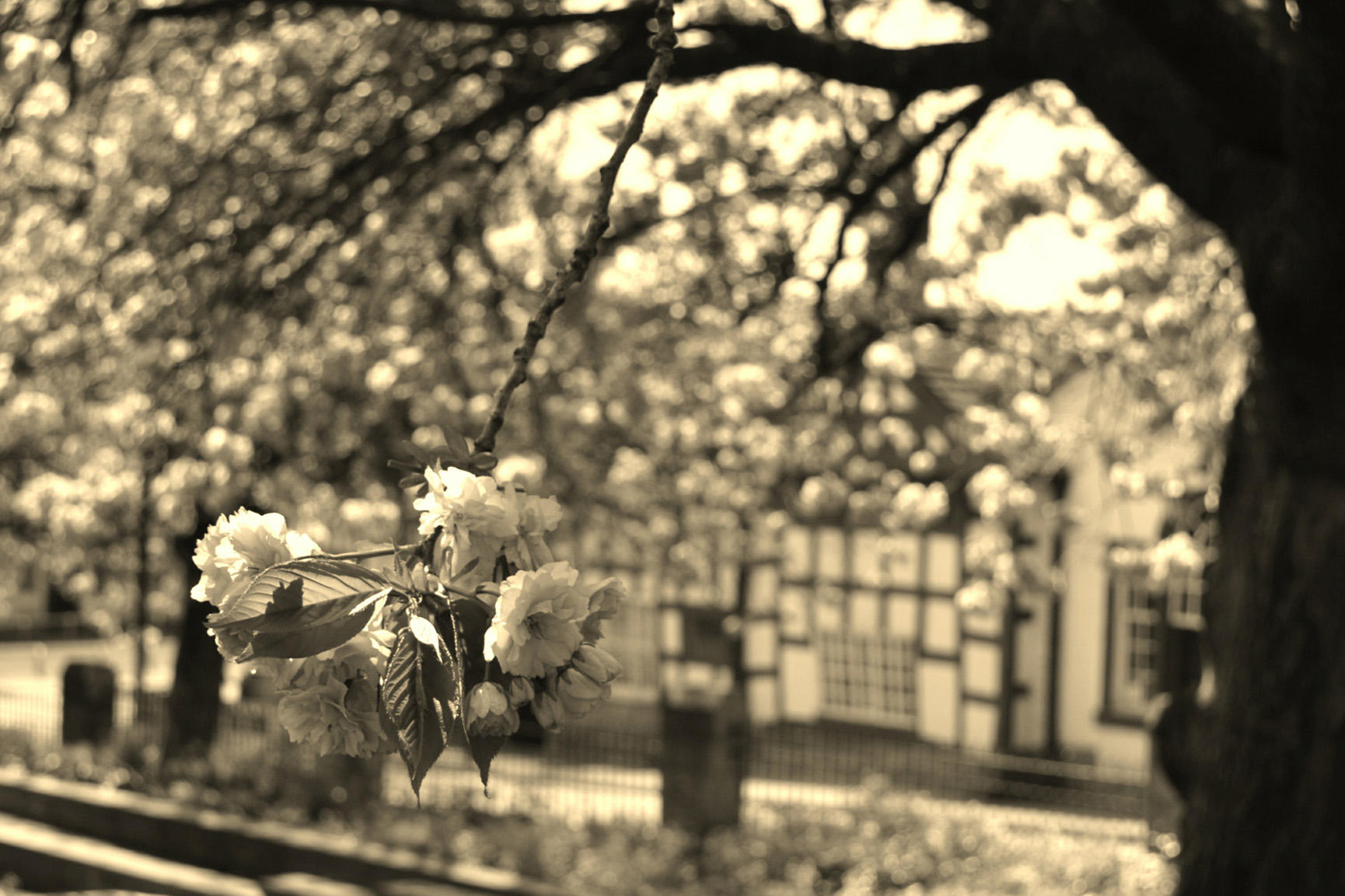 Olde Boar's Head/Blossom in sepia