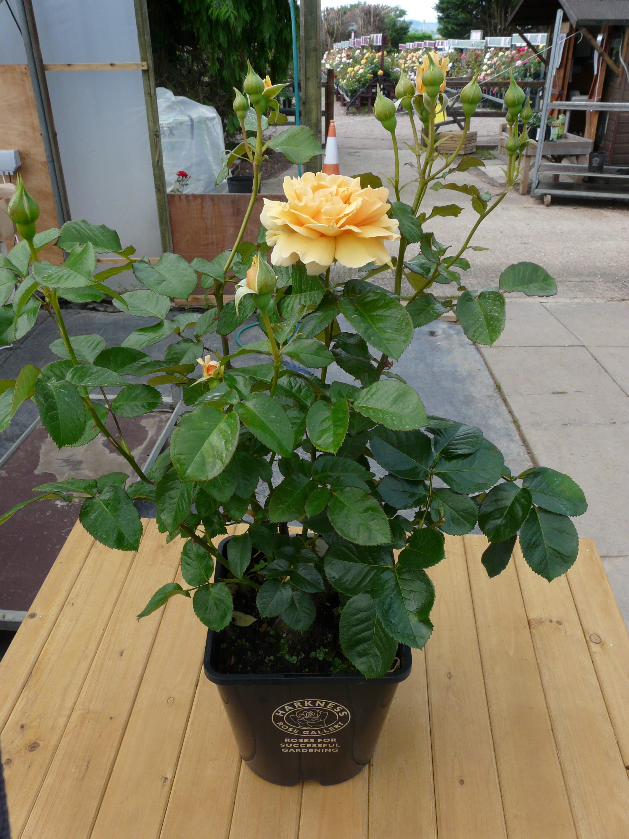 Our Pot Grown Roses Are In A 4 5 Litre With Top Quality Compost Slow Release Fertilizer To Feed The Plant First Season