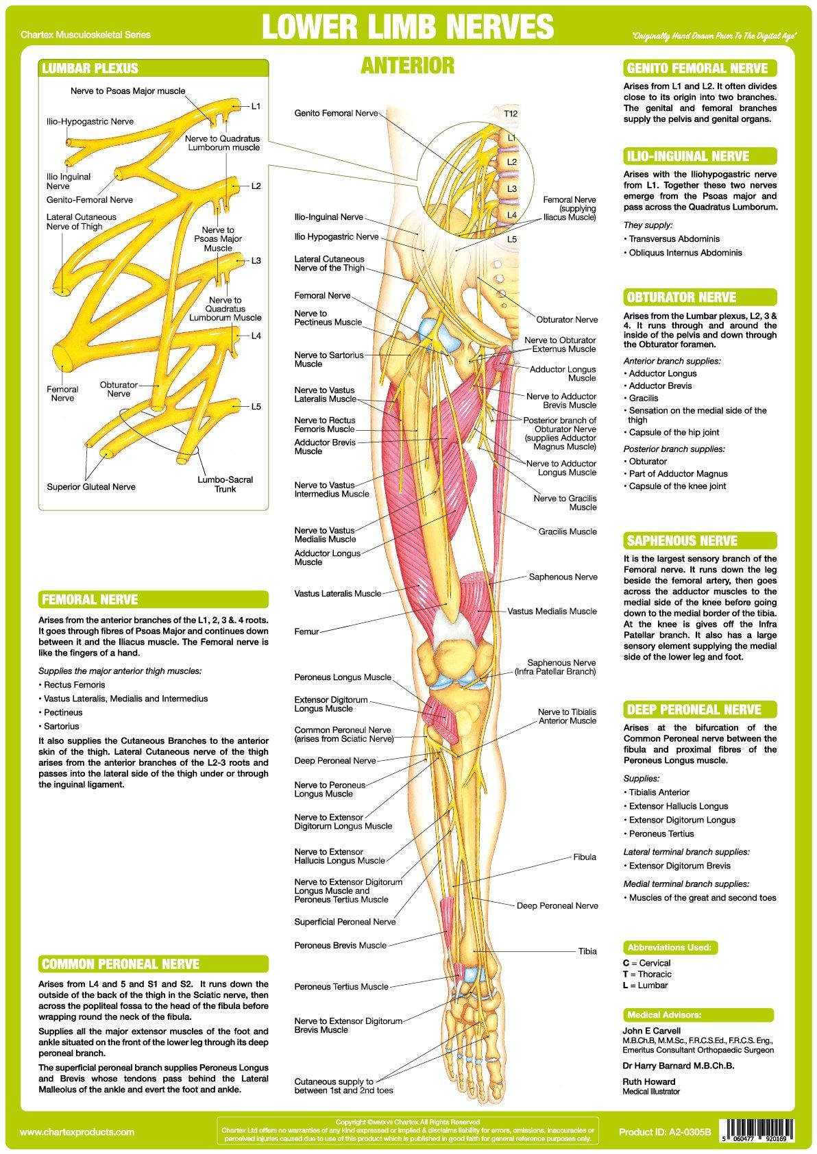 Nerve Anatomy Chart - Lower Limb Anterior