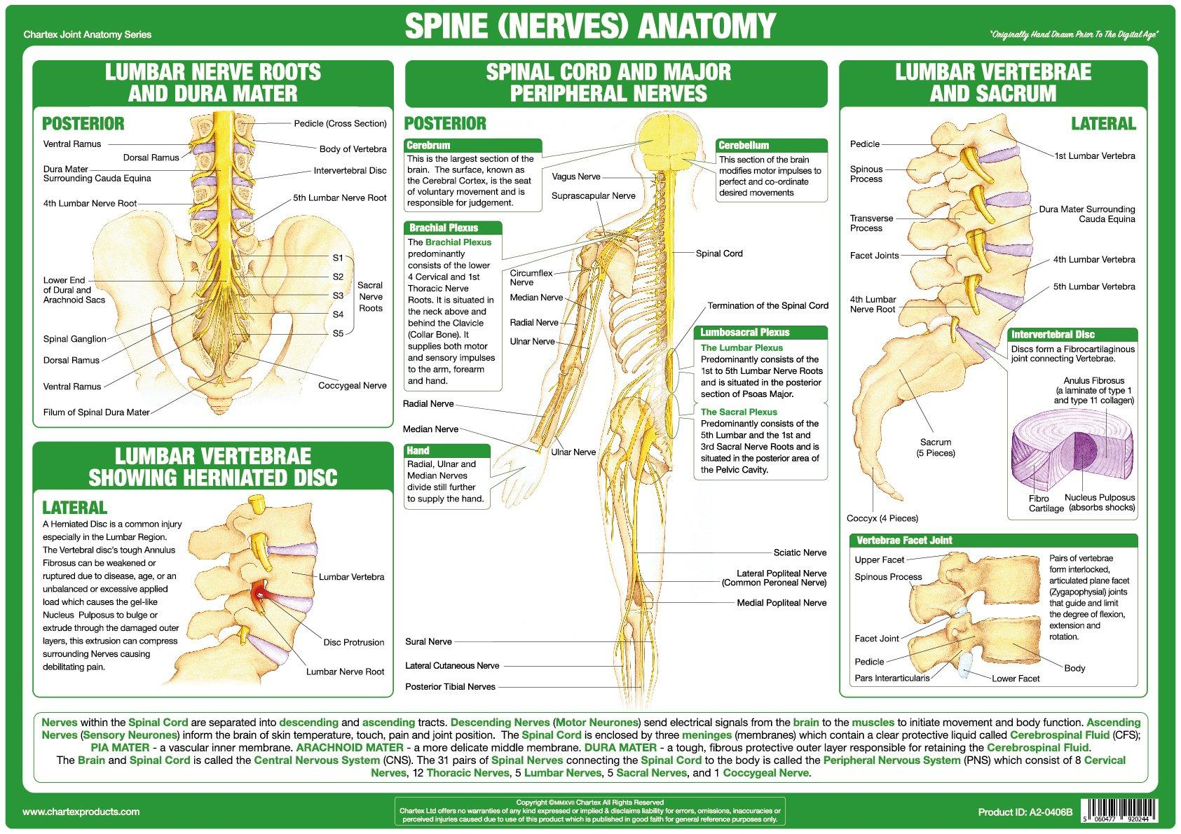 Spinal Nerves Anatomy Chart