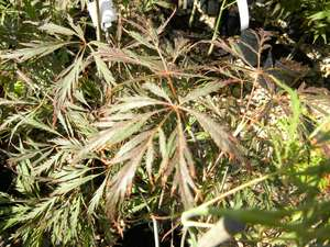 Acer palmatum Dissectum 'Nugrum' 'Ever Red' in summer