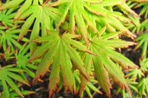 Acer palmatum 'Green Trompenburg' spring leaves