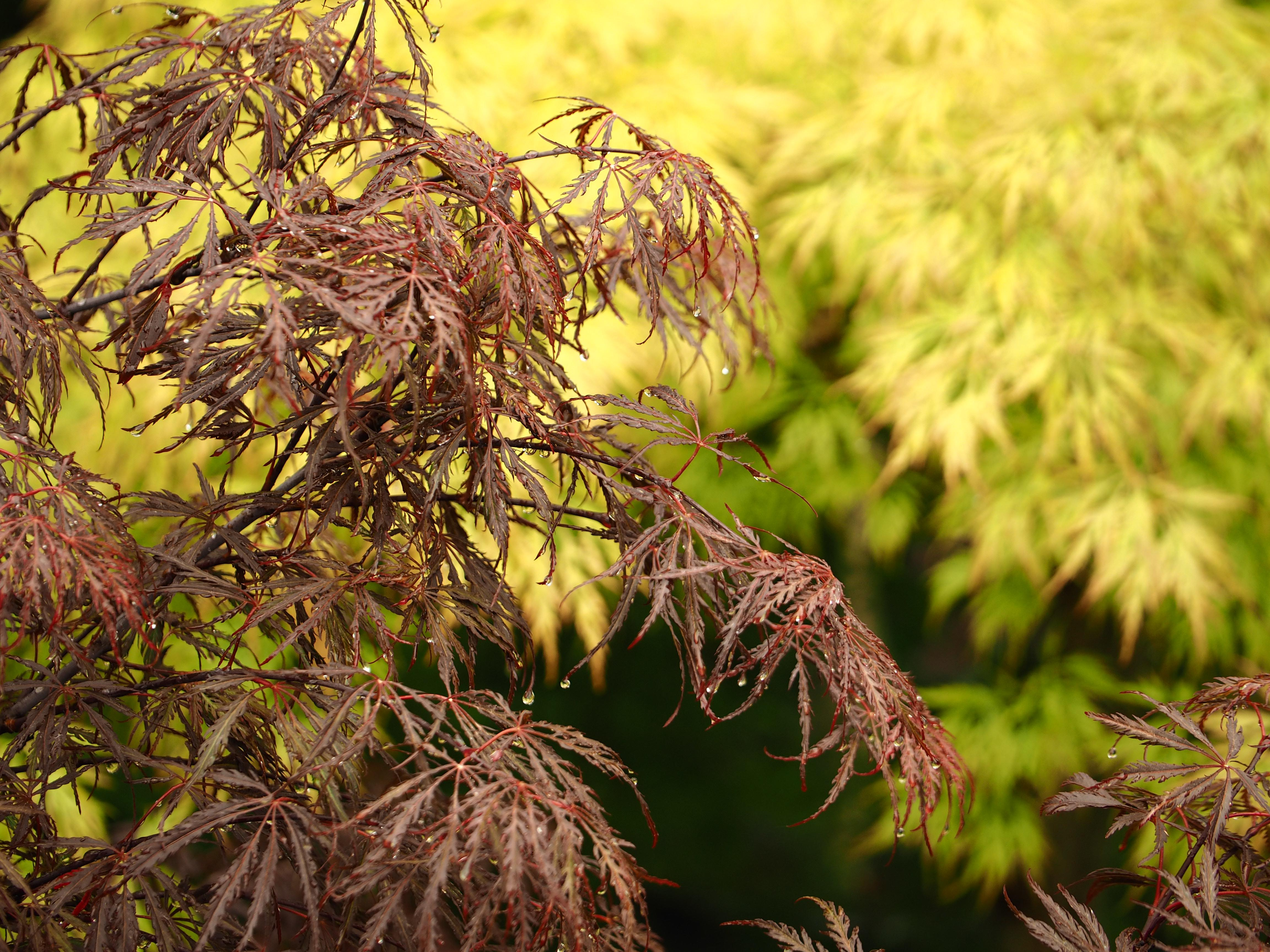 Acer palmatum Diss.'Inaba shidare' in May