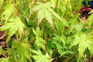 Acer palmatum 'Going Green' foliage
