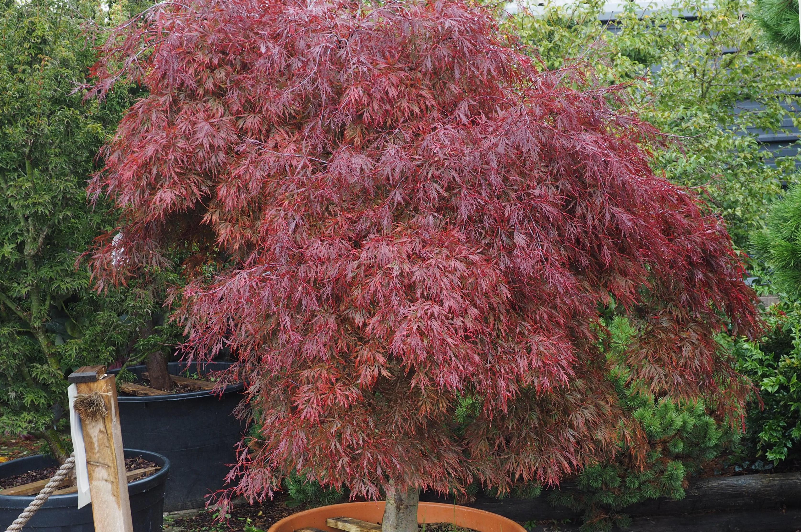 Acer palmatum Diss. 'Inaba shidare' 77606