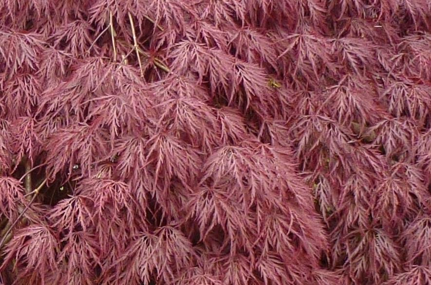 Acer palmatum 'Garnet' leaves