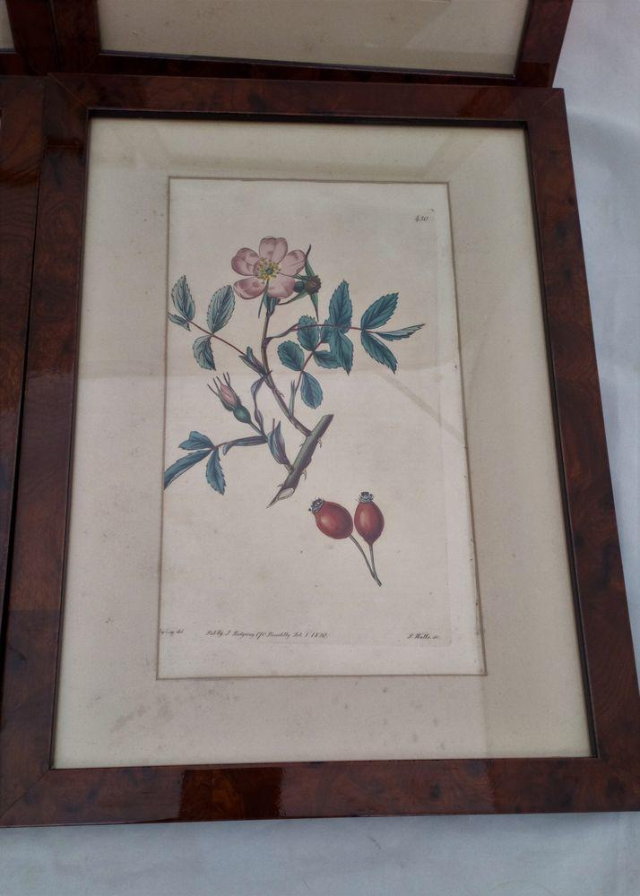 Framed Original Engraving Print The Botanical Register, Rose pl 430, 1820