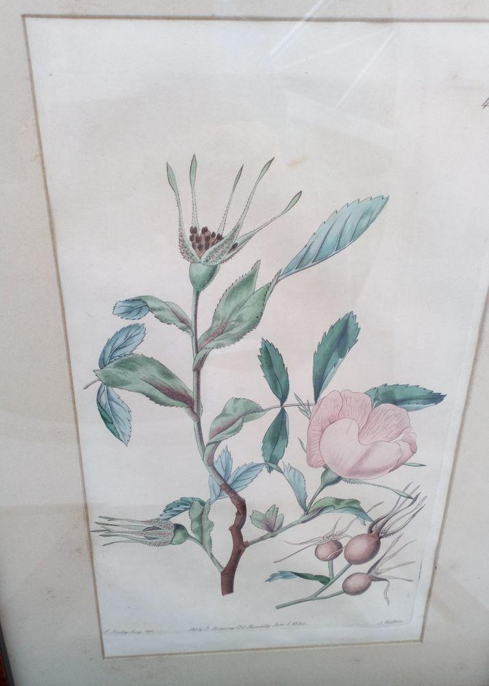 Original Engraving Print The Botanical Register Newfoundland Rose 1820