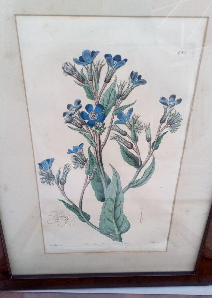 Original Engraving Print The Botanical Register Italian Bugloss 1820