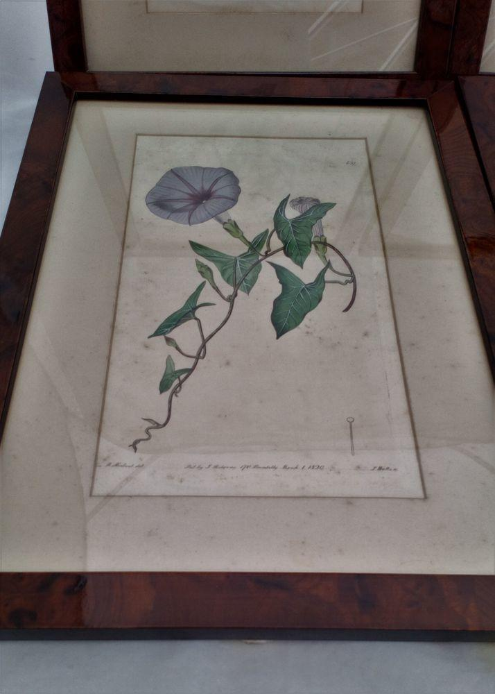Original Engraving Print The Botanical Register Catesby's Ipomoea 1820