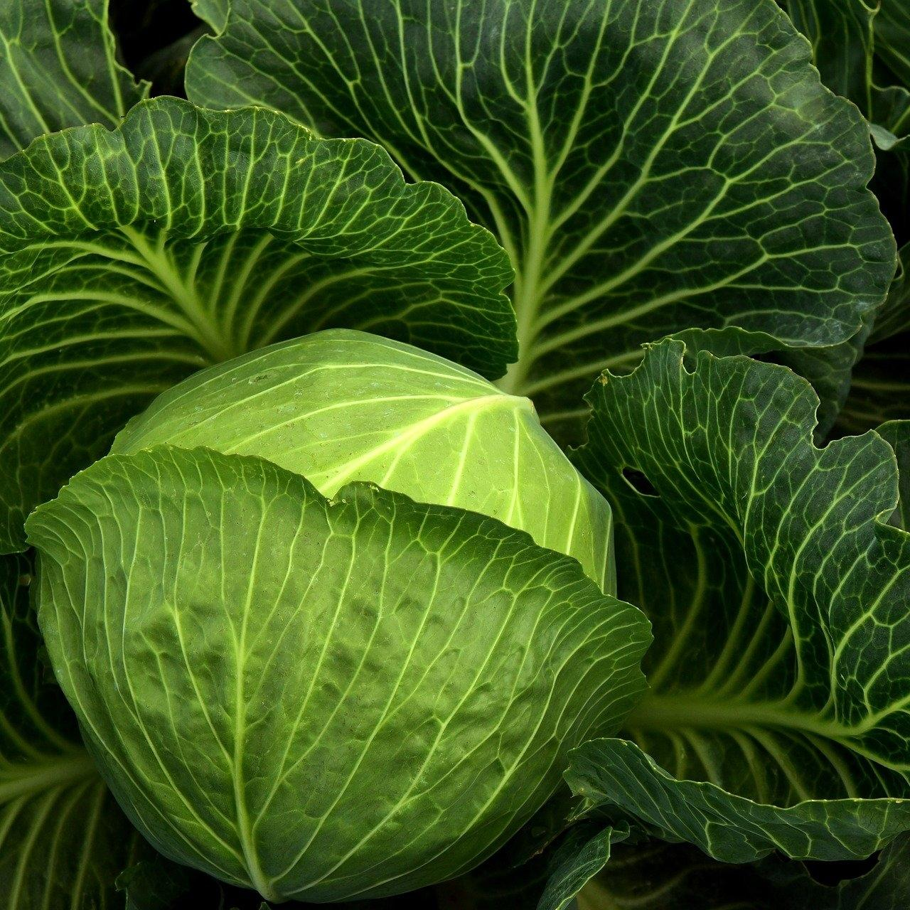 A green cabbage